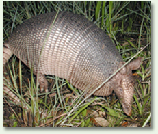 Armadillo removal and trapping
